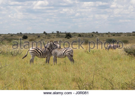 An Oryx walks past a pair of Zebra displaying typical grooming and chin resting behaviour in Nxai Pans, Botswana - Stock Photo