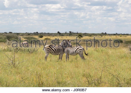 A pair of Zebra displaying typical grooming and chin resting behaviour in Nxai Pans, Botswana - Stock Photo