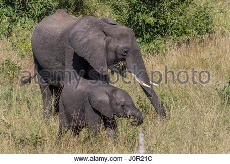 A female Elephant and calf feeding on grasses in the Chobe National Park. - Stock Photo