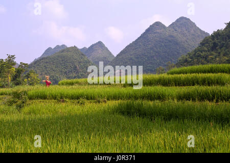 Maturing terraced rice fields, scarecrow overlooking,  Muong Thanh, Dien Bien Province, Vietnam, Indochina. - Stock Photo