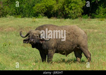 Cape buffalo (Syncerus caffer) on alert, Lake Nakuru National Park, Kenya - Stock Photo