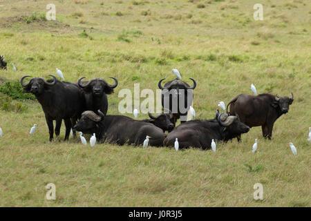 Cape buffalo (Syncerus caffer) herd; Cattle Egret (Bubulcus ibis), Masai Mara National Reserve, Kenya - Stock Photo