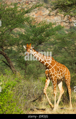 Reticulated giraffe (Giraffa camelopardalis reticulata) walking thru brush, Samburu National Reserve, Kenya - Stock Photo