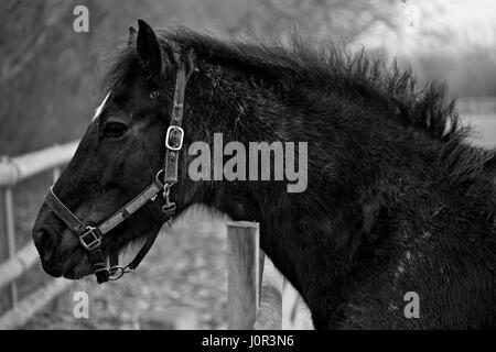 Profile of black horse on the farm - Stock Photo