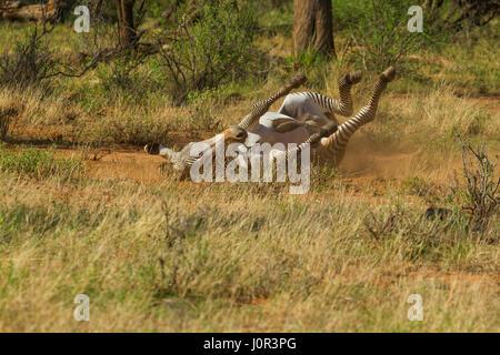Grevy's zebra (Equus grevyi) having a dust bath, Samburu National Reserve, Kenya - Stock Photo