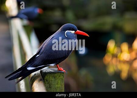 Inca tern bird in wildlife sanctuary - Stock Photo