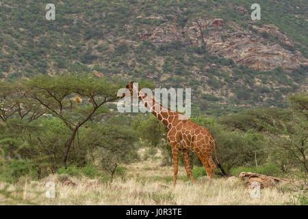 Reticulated giraffe (Giraffa camelopardalis reticulata) browsing, Samburu National Reserve, Kenya - Stock Photo