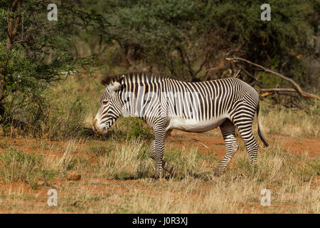 Grevy's zebra (Equus grevyi) standing, Samburu National Reserve, Kenya - Stock Photo