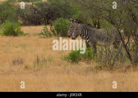 Grevy's zebra (Equus grevyi) two zebras standing, Samburu National Reserve, Kenya - Stock Photo