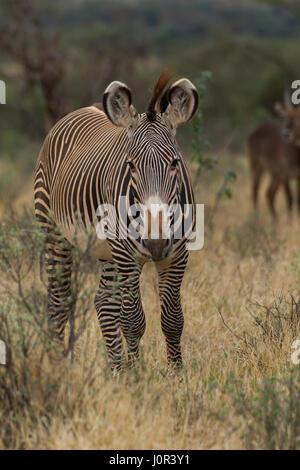 Grevy's zebra (Equus grevyi) portrait, Samburu National Reserve, Kenya - Stock Photo