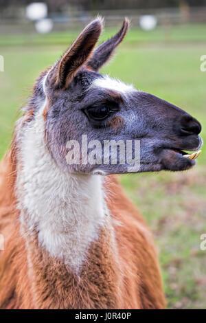Lama grazing on the farm - Stock Photo