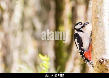 A female greater spotted woodpecker in a rural garden in mid Wales in spring. - Stock Photo