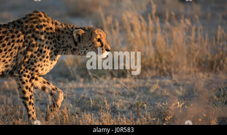 Cheetah in the morning light. - Stock Photo