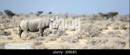 Black Rhino in Etosha National Park. - Stock Photo