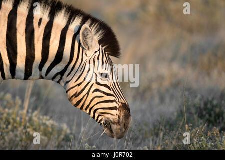 Zebra grazing in Etosha National Park. - Stock Photo