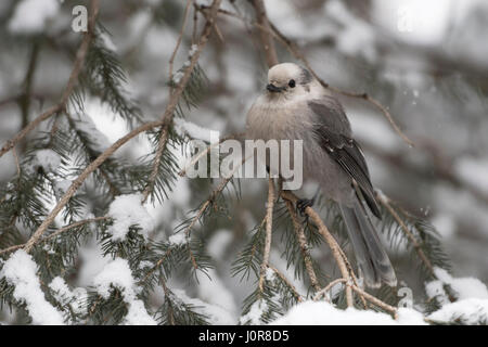 Grey jay / Meisenhaeher ( Perisoreus canadensis ), adult in winter, perched on a twig of a snow covered conifer, - Stock Photo