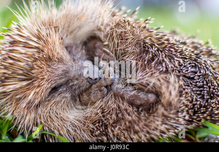 Cute wild hedgehog sleeping. - Stock Photo