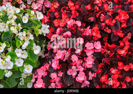 Three colors of fibrous begonias from a top down view. - Stock Photo