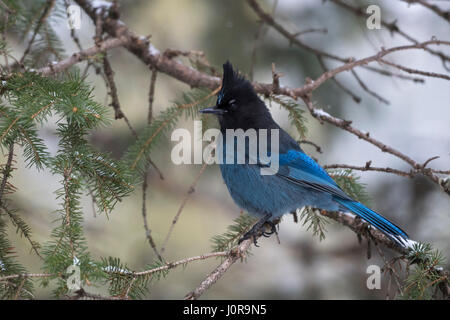 Steller's jay / Diademhaeher ( Cyanocitta stelleri ) perched in a conifer tree, adult in winter, side view, Yellowstone - Stock Photo