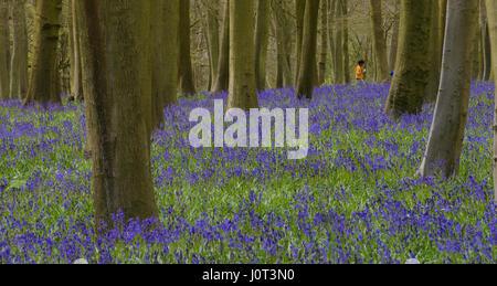 Bluebells in Badbury wood - Stock Photo