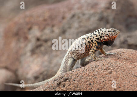 Galapagos lava lizard male (Microlophus albemarlensis) - Stock Photo