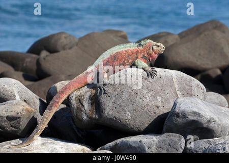 Marine Iguana male (Amblyrhynchus cristatus) in breeding season colors basking on lava rock coast, Espanola Island - Stock Photo