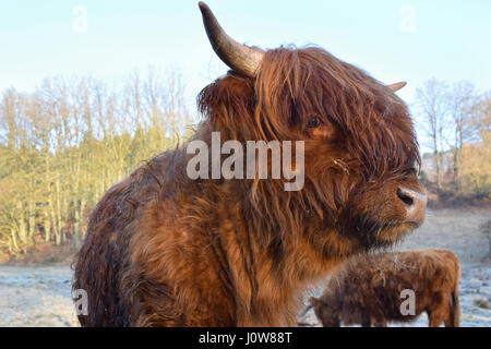 Cose-up of a young Scottish highland cattle on a white frost covered meadow - Stock Photo