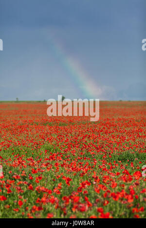 Nature, spring, blooming flowers concept - beautiful spring landscape with large field of red blooming poppies and - Stock Photo