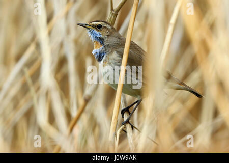 Red spotted Bluethroat, Luscinia svecica, moulting through into summer plumage and showing a more prominent red - Stock Photo