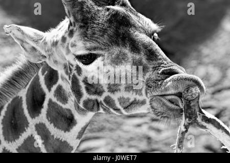 Giraffe eating leaves of the tree - black and white - Stock Photo