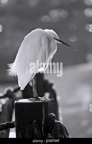 Black And White Egret Stock Photo 283739268 Alamy
