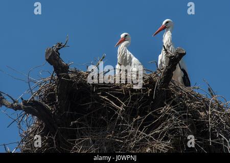 Nest of White Stork, Ciconia ciconia, Ciconiidae, Madrid, Spain - Stock Photo