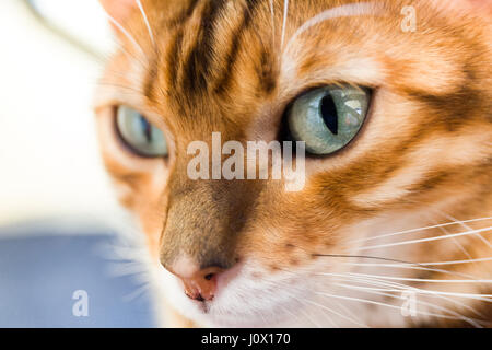Close up portrait of female Bengal cat eyes and face  Model Release: No.  Property Release: Yes. - Stock Photo