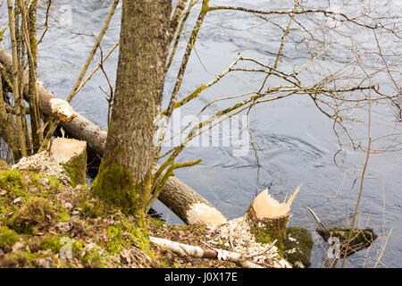 Tree felled by Eurasian beaver (Castor fiber) in Säveåns nature reserve, Floda, Sweden  Model Release: No.  Property - Stock Photo
