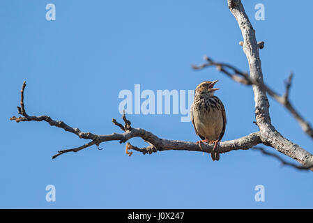 Indochinese Bush Lark (Mirafra erythrocephala) singing, Tmatboey, Cambodia - Stock Photo