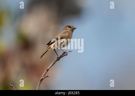 Pied Bush Chat (Saxicola caprata burmanicus) female perched on branch, Pied Bushchat , Cambodia - Stock Photo