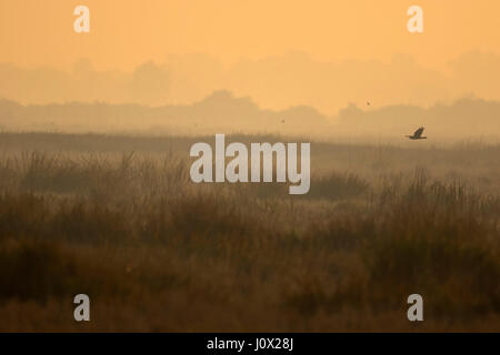 Eastern Marsh Harrier (Circus spilonotus) flying over Florican grassland, by sunrise, Cambodia - Stock Photo
