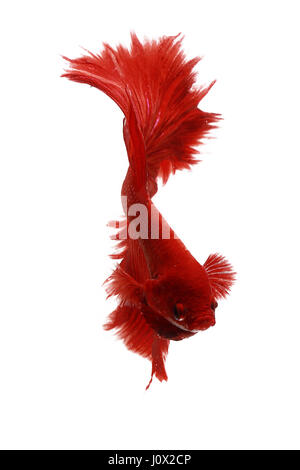 Portrait of a betta fish, Indonesia - Stock Photo