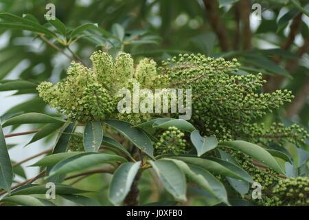 Schefflera taiwaniana - Stock Photo