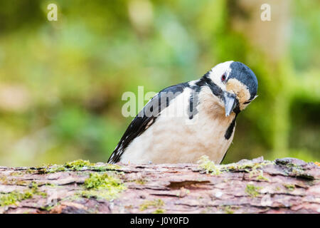A female greater spotted woodpecker in woodlands in rural mid Wales at springtime. - Stock Photo