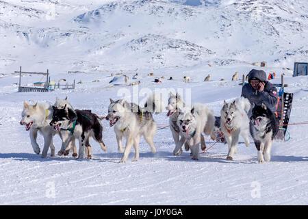 Husky dog in Ilulissat, Greenland - Stock Photo