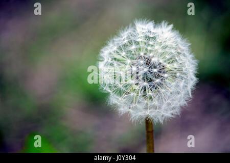 Dandelion seedhead - Stock Photo