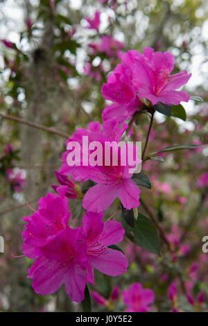 Azalea flowers blooming in Savannah, Georgia - Stock Photo