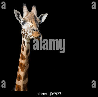 A close up of a Giraffe's head and neck on a black background - Stock Photo