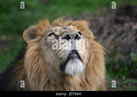 Headshot of a male Lion - Stock Photo