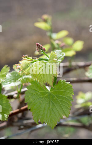 Part of younggrape plant in the spring season - Stock Photo