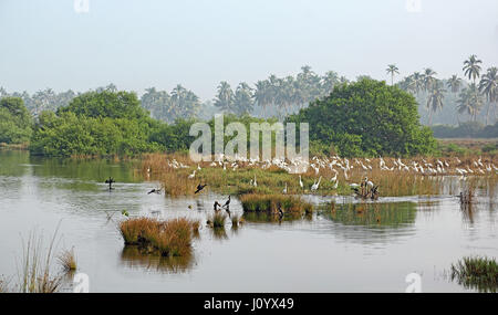 Flock of white eastern great egrets and cormorants hunt for fish and other insects in a picturesque lake and marshy - Stock Photo