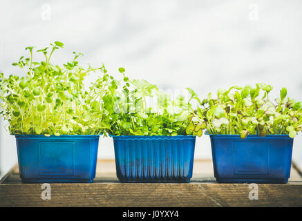 Radish kress, water kress and coriander sprouts in blue pots - Stock Photo