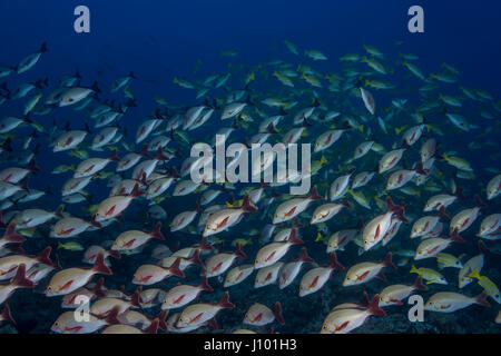School of fish Humpback Red Snapper (Lutjanus gibbus) in blue water, Indian Ocean, Maldive - Stock Photo