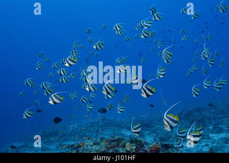 School of Schooling bannerfish (Heniochus diphreutes) over coral reef in blue water, Indian Ocean, Maldive - Stock Photo